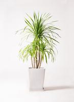 観葉植物 ドラセナ カンボジアーナ 8号 LO スクエア 付き