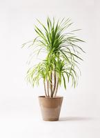 観葉植物 ドラセナ カンボジアーナ 8号 アートストーン ラウンド ベージュ 付き