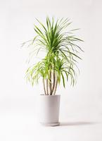 観葉植物 ドラセナ カンボジアーナ 8号 LO ラウンド 付き