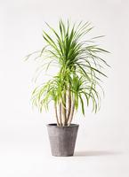 観葉植物 ドラセナ カンボジアーナ 8号 フォリオソリッド ブラックウォッシュ 付き