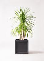 観葉植物 ドラセナ カンボジアーナ 8号 ブリティッシュキューブ 付き