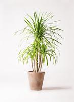 観葉植物 ドラセナ カンボジアーナ 8号 ルーガ アンティコ ソリッド 付き