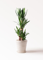 観葉植物 ユッカ 8号 ノーマル サバトリア 白 付き