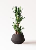 観葉植物 ユッカ 8号 ノーマル エディラウンド 黒 付き