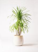 観葉植物 ドラセナ カンボジアーナ 8号 ササール 白 付き