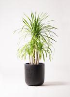 観葉植物 ドラセナ カンボジアーナ 8号 エルバ 黒 付き