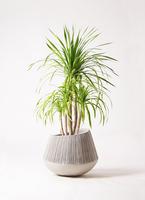 観葉植物 ドラセナ カンボジアーナ 8号 エディラウンド グレイ 付き