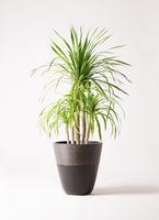 観葉植物 ドラセナ カンボジアーナ 8号 ジュピター 黒 付き