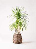 観葉植物 ドラセナ カンボジアーナ 8号 リゲル 茶 付き