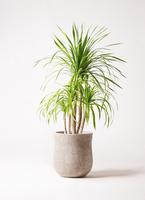 観葉植物 ドラセナ カンボジアーナ 8号 アローナラウンド ベージュ 付き