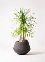 観葉植物 ドラセナ カンボジアーナ 8号 エディラウンド 黒 付き