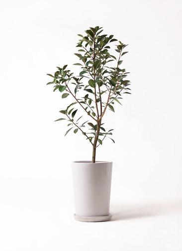 観葉植物 フランスゴムの木 8号 ノーマル LO ラウンド 付き