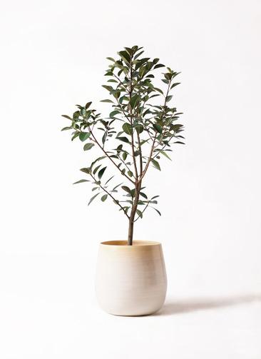 観葉植物 フランスゴムの木 8号 ノーマル ササール 白 付き