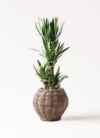 観葉植物 ユッカ 8号 ノーマル グレイラタン 付き