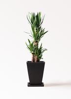 観葉植物 ユッカ 8号 ノーマル パウダーストーン 黒 付き