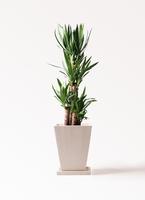 観葉植物 ユッカ 8号 ノーマル パウダーストーン 白 付き