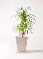観葉植物 ドラセナ カンボジアーナ 8号 パウダーストーン 白 付き