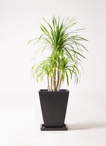 観葉植物 ドラセナ カンボジアーナ 8号 パウダーストーン 黒 付き