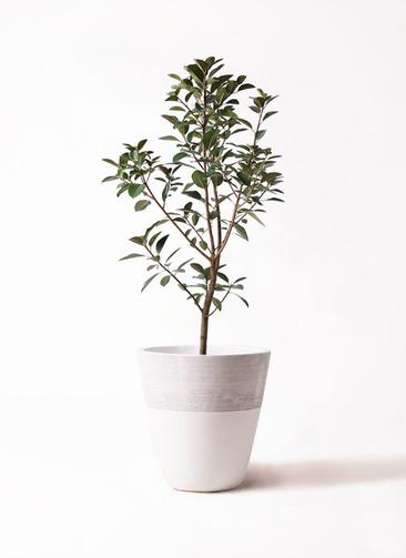 観葉植物 フランスゴムの木 8号 ジュピター 白 付き
