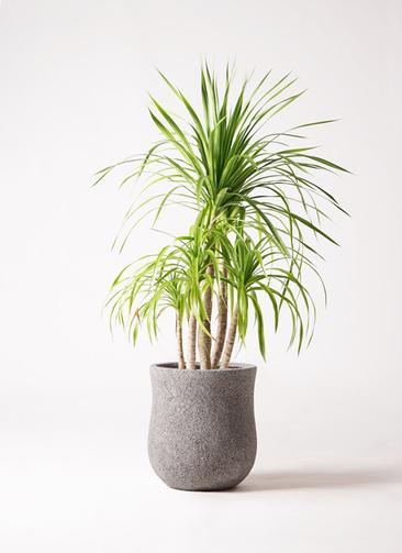 観葉植物 ドラセナ カンボジアーナ 8号 アローナラウンド グレイ 付き