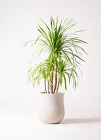 観葉植物 ドラセナ カンボジアーナ 8号 アローナラウンド 白 付き