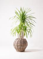 観葉植物 ドラセナ カンボジアーナ 8号 グレイラタン 付き
