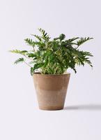 観葉植物 クッカバラ 7号 アートストーン ラウンド ベージュ 付き