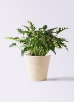 観葉植物 クッカバラ 7号 フォリオソリッド クリーム 付き