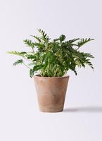 観葉植物 クッカバラ 7号 ルーガ アンティコ ソリッド 付き