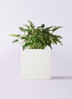 観葉植物 クッカバラ 7号 バスク キューブ 付き