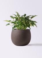 観葉植物 クッカバラ 7号 テラニアス ローバルーン アンティークブラウン 付き