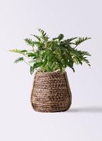 観葉植物 クッカバラ 7号 リゲル 茶 付き