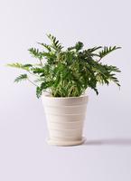 観葉植物 クッカバラ 7号 サバトリア 白 付き