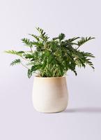 観葉植物 クッカバラ 7号 ササール 白 付き