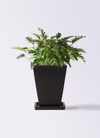 観葉植物 クッカバラ 7号 パウダーストーン 黒 付き