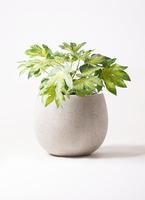観葉植物 ヤツデ 7号 テラニアス ローバルーン アンティークホワイト 付き