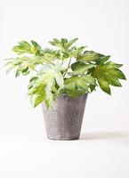 観葉植物 ヤツデ 7号 フォリオソリッド ブラックウォッシュ 付き