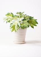観葉植物 ヤツデ 7号 サバトリア 白 付き