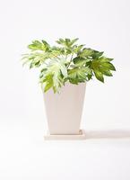 観葉植物 ヤツデ 7号 パウダーストーン 白 付き