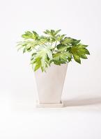 観葉植物 ヤツデ 7号 スクエアハット 白 付き