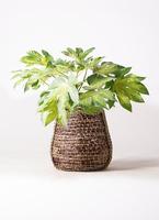 観葉植物 ヤツデ 7号 リゲル 茶 付き