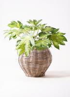 観葉植物 ヤツデ 7号 グレイラタン 付き