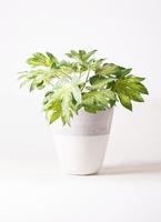 観葉植物 ヤツデ 7号 ジュピター 白 付き