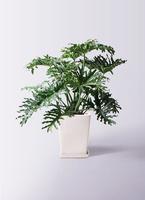 観葉植物 セローム ヒトデカズラ 8号 根あがり LO スクエア 付き