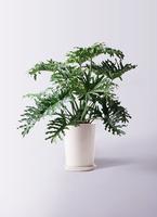 観葉植物 セローム ヒトデカズラ 8号 根あがり LO ラウンド 付き