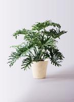 観葉植物 セローム ヒトデカズラ 8号 根あがり フォリオソリッド クリーム 付き