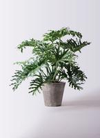 観葉植物 セローム ヒトデカズラ 8号 根あがり フォリオソリッド ブラックウォッシュ 付き