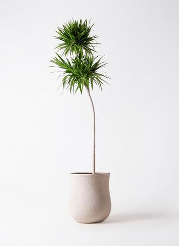 観葉植物 ドラセナ ボレロ 10号 アローナラウンド 白 付き