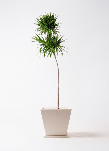観葉植物 ドラセナ ボレロ 10号 パウダーストーン 白 付き