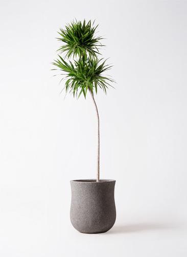 観葉植物 ドラセナ ボレロ 10号 アローナラウンド グレイ 付き